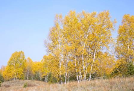 坝上白桦林
